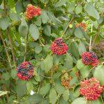 Wolliger Schneeball - Viburnum lantana