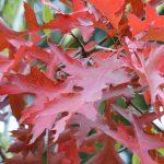 Sumpfeiche -  Quercus palustris